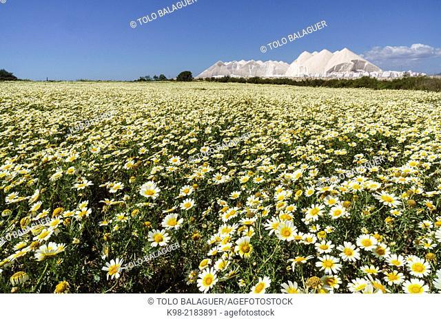 Field of daisies in spring, Salobrar de Campos, Ses Salines, Majorca, Balearic Islands, Spain