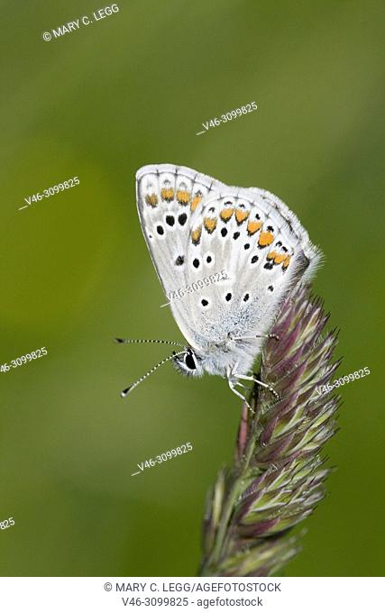 Brown Argus, Aricia agestis is myrmephilic blue butterfly that lays eggs on Geranium, Helianthemum and Erodium sp. with 2 broods a summer