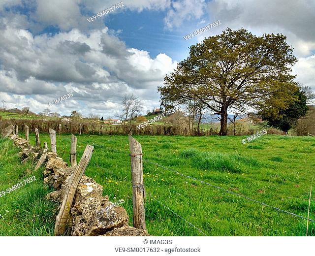 Oak tree in El Remediu village, Nava municipality, Asturias, Spain