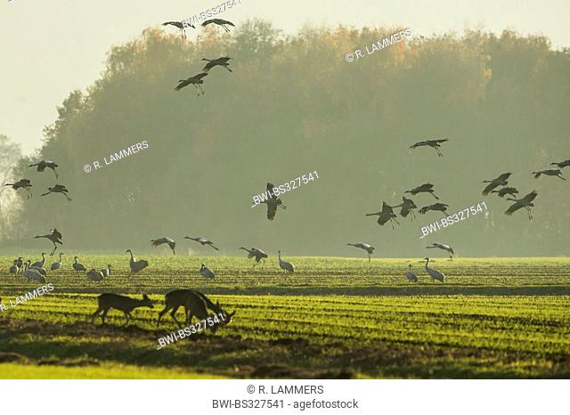 Common crane, Eurasian Crane (Grus grus), together with roe deers at an acre at the resting area Oppenweher Moor, Germany, Lower Saxony, Oppenwehe