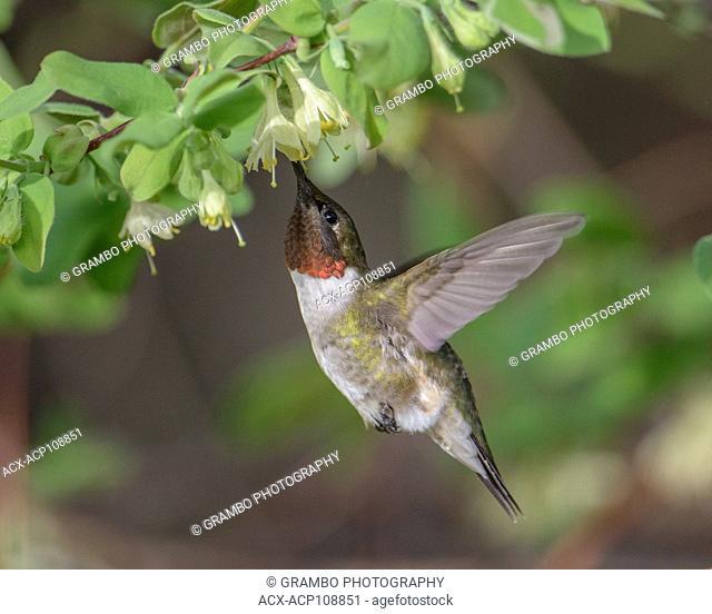 Ruby-throated Hummingbird, Archilochis colubris, feeding on Haskap flowers, early spring, Warman, Saskatchewan, Canada