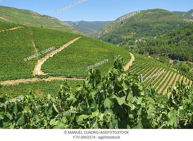 Vineyards, Bodega Godeval, D.O. Valdeorras, comarca de Valdeorras, Orense province, Galicia, Spain