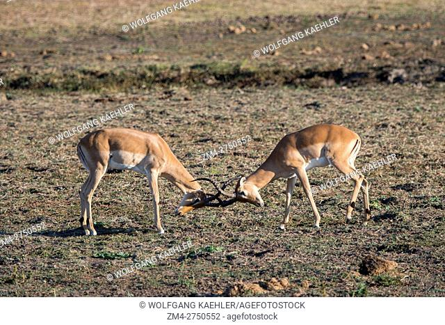 Two Impala (Aepyceros melampus) males play-fighting in South Luangwa National Park in eastern Zambia