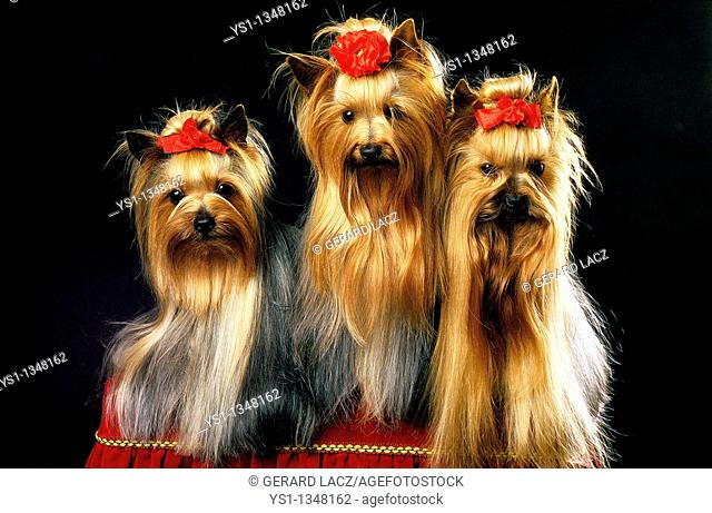 YORKSHIRE TERRIER, ADULT WELL BRUSHED BEFORE A DOG COMPETITION