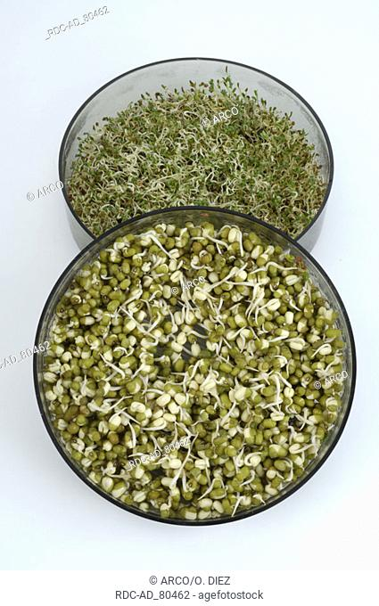 Sprouts of Mung Beans and Alfalfa in bowls Vigna radiata Vigna mungo Phaseolus mungo Phaseolus radiatus Medicago sativa Lucerne