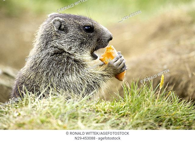 Marmot cub eating vegetables (Marmota marmota) Nationalpark Hohe Tauern, Austria