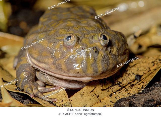 Budgett's Frog (Lepidobatrachus laevis), Captive, Reptilia reptil ezoo, Vaughan, Ontario, Canada