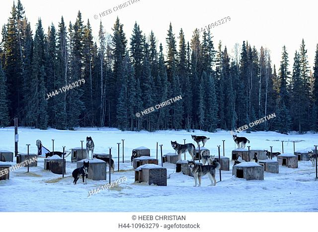 USA, United States, America, Far North, Alaska, Sled Dogs, kennel, winter, clearing, snow, dog, dogs