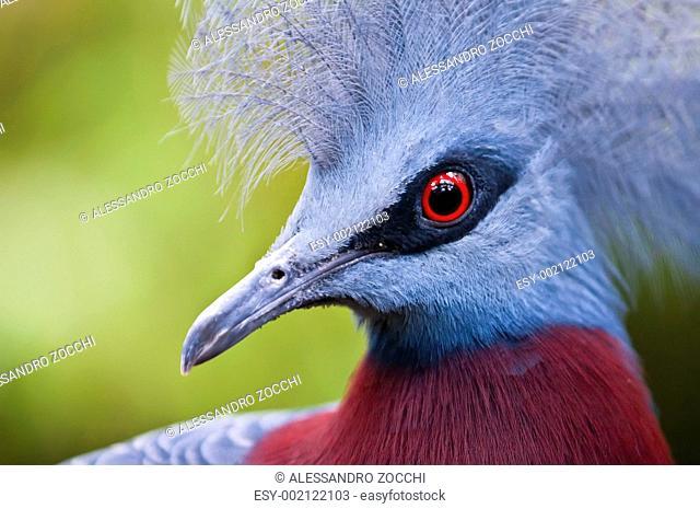 Victoria Crowned Pigeon, Goura victoria, dove of the tropics