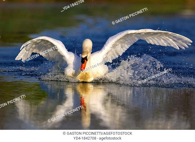 Mute swan Cygnus olor, in the pond, Rising Sun, Indiana, USA