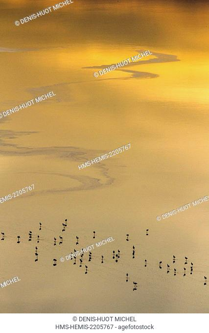 Kenya, Magadi lake, flamant nain, lesser flamingo (Phoeniconaias minor), at sunset, aerial view