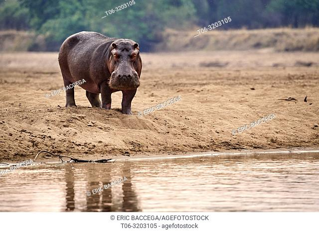 Hippo bull (Hippopotamus amphibius) on the bank of the Luangwa river, South Luangwa National Park, Zambia