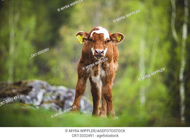 Young spotted calf standing in Swedish nature