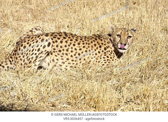 A Jeetha in the namibian Kalahari; where one third of the world population is living