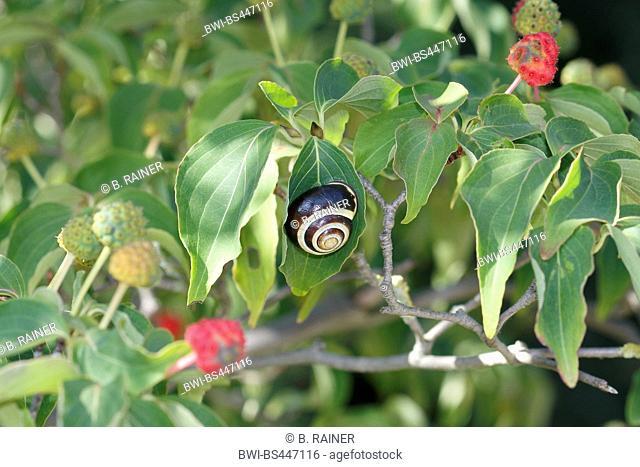 kousa dogwood, Japanese Dogwwod (Cornus kousa), fruiting branch with garden snail