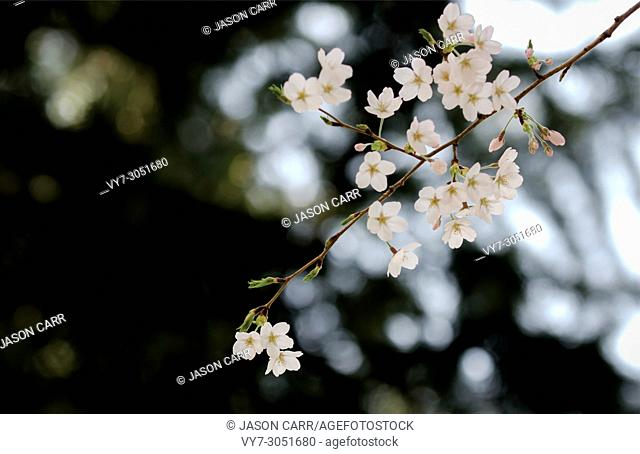 Sakura Cherry Blossom is in Spring of Japan. It usually starts from end of March to beginning of April