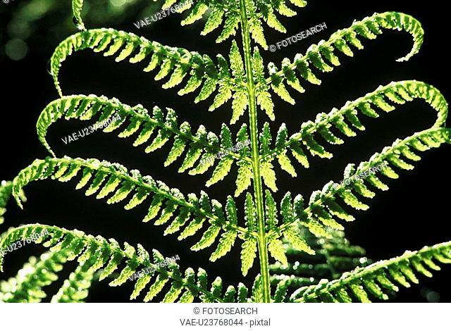 flora, back light, fern, dornbirn, calf, forest, austria