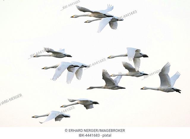 Bewick's swans (Cygnus bewickii), flock in flight, Emsland, Lower Saxony, Germany