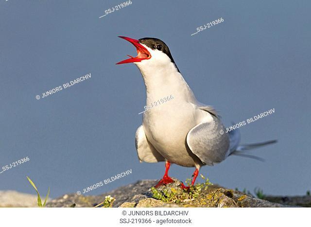 Arctic Tern (Sterna paradisaea). Adult bird in breeding plumage, calling. Schleswig-Holstein, Germany