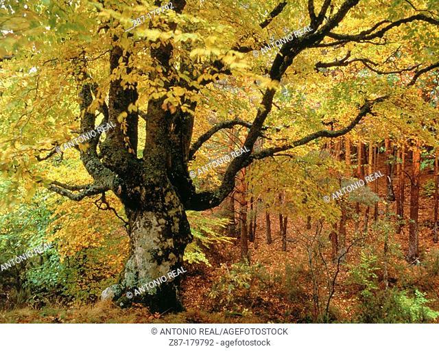 Beech (Fagus sylvatica). Tejera Negra Beechwood Natural Park. Guadalajara province. Castilla la Mancha, Spain