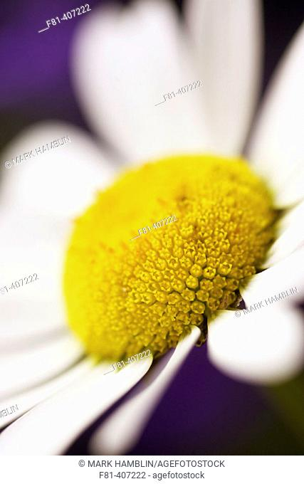 Oxeye daisy (Leucanthemum vulgare), close-up of flower. Scotland. UK