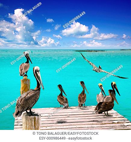 Caribbean pelican turquoise beach tropical sea view Mexico