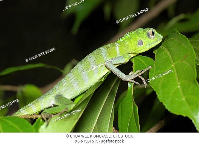Chamelion Green Crested Lizard of Gunung Garding Sarawak, Malaysia