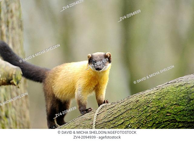 Close-up of a yellow-throated marten or kharza (Martes flavigula) running on a tree branch