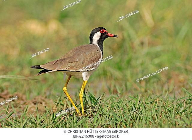 Red-wattled Lapwing (Vanellus indicus), Keoladeo Ghana National Park, Rajasthan, India, Asia