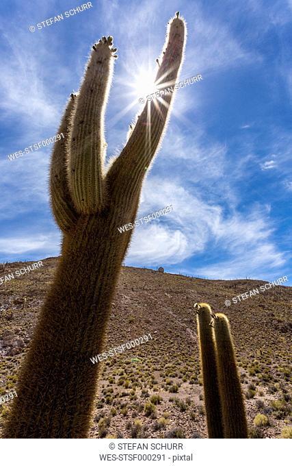 Bolivia, Altiplano, Salar de Uyuni, Cactus in sunlight