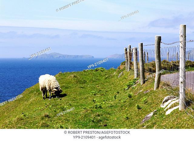 Sheep on the Dingle Peninsula in County Kerry, Ireland