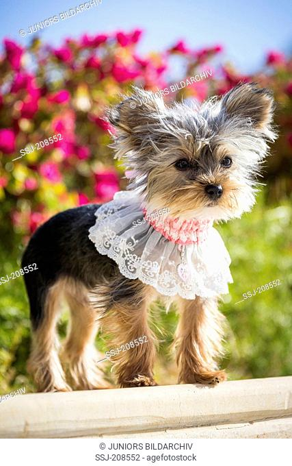 Teacup Yorkshire Terrier. Adult bitch wearing a lace collar, standing. Germany