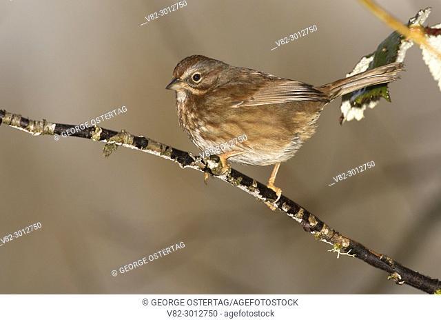 Sparrow, Willamette Mission State Park, Oregon