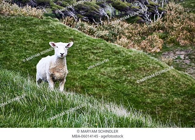 New Zealand, south island, sheep looks in the direction of the camera, on green hill