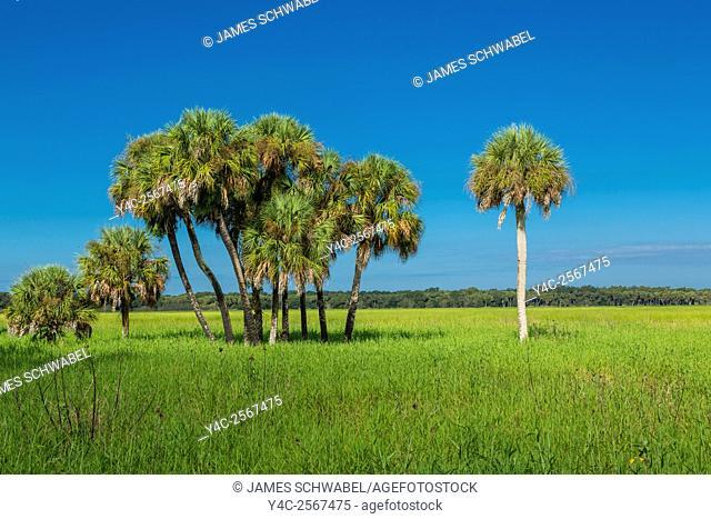 Palm trees in Myakka River State Park in Sarasota Florida