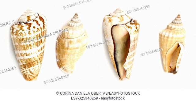 Shells of Strawberry conch ( Conomurex Luhuanus) and Samar conch (Canarium Labiatum) isolated on white background