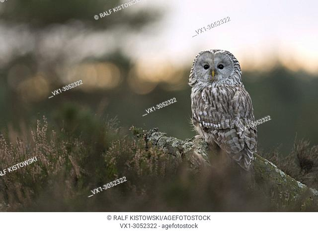 Ural Owl ( Strix uralensis ) sitting on a fallen tree, surrounded by boreal undergrowth, watching back over its shoulder, Europe