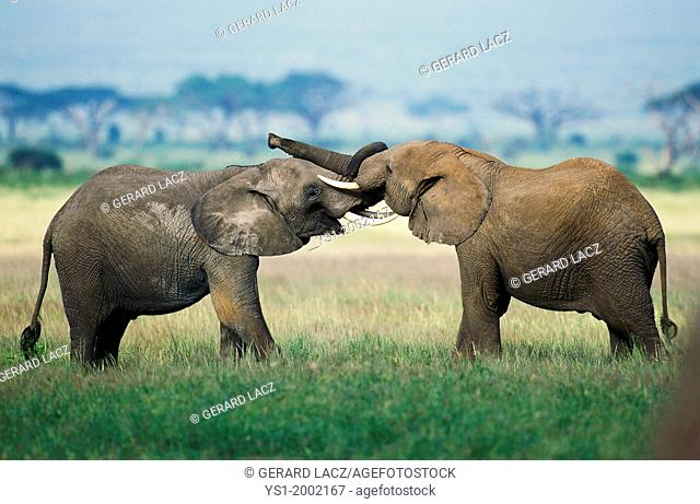 African Elephant, loxodonta africana, Youngs playing, Masai Mara Park in Kenya
