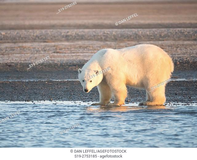 Alaska Arctic Polar Bears