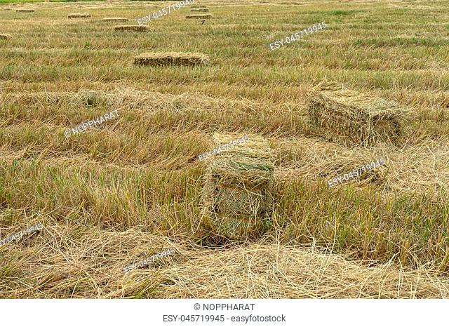 Landscape of Dry rice straw to used for animal husbandry