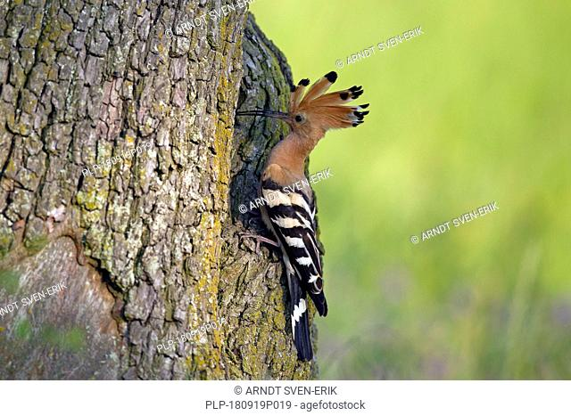Eurasian hoopoe (Upupa epops) with erected crest feathers at nest entrance in hollow tree in spring