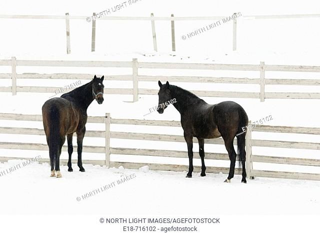 Two horses standing by a fence in snow covered field, Sun Peaks, BC, Canada