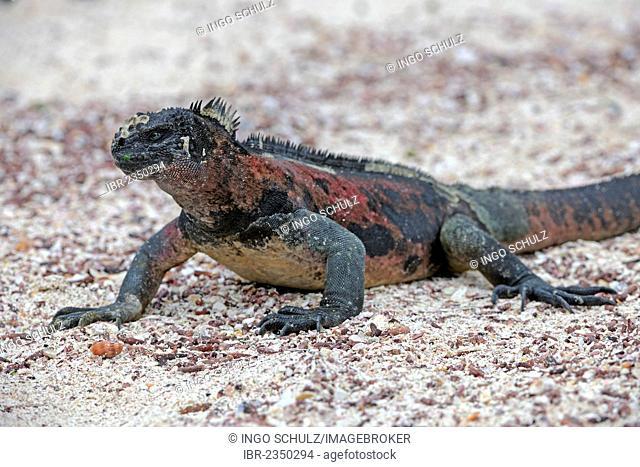 Marine Iguana (Amblyrhynchus cristatus), Española Island subspecies, Galapagos Islands, UNESCO World Heritage Site, Ecuador, South America