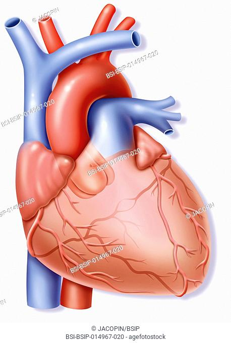 Frontal illustration of the heart and its vascularisation