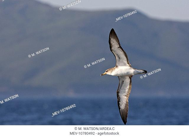 Cory's Shearwater - in flight (Calonectris diomedea)