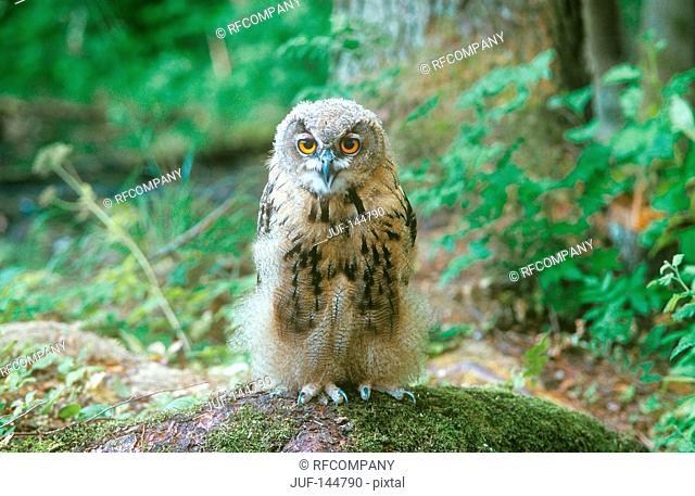 young eagl owl - standing on moss / bubo bubo