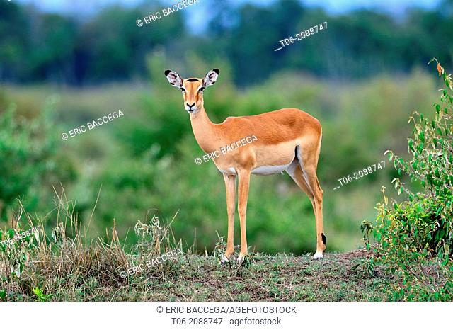 Female impala (Aepyceros melampus), Nakuru National Park, Kenya, Africa, October