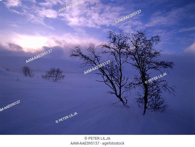 Mountain Birches in Snow Storm, Vildelvagge, Lappland, Sweden