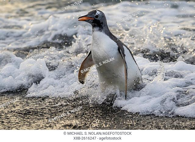 An adult gentoo penguin, Pygoscelis papua, returning from the sea in Gold Harbour, South Georgia
