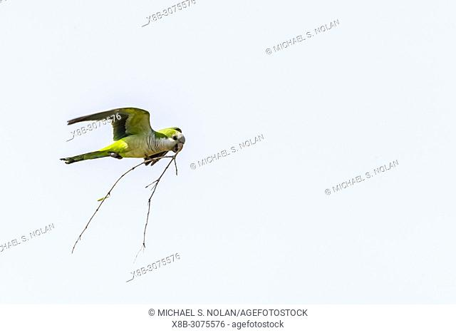 An adult monk parakeet, Myiopsitta monachus, in flight with nest material. Pousado Alegre, Brazil